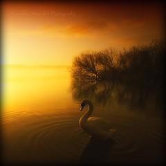 On Golden Pond... (Samantha Nicol Art Photography) Tags: trees sky bird water misty fog clouds reflections square golden scotland swan nikon warm ripples loch samantha tones nicol lochwinnoch castlesemple infinestyle obramaestra
