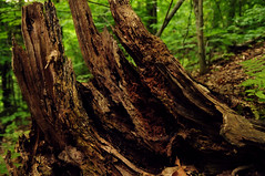 Majestic Stump (CPSanford Photography) Tags: trees brown nature leaves forest stump ferns grees