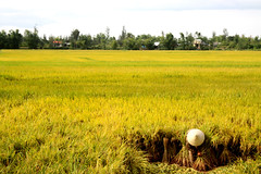 Indo3 140 (Fabrice Instinct Voyageur) Tags: voyage travel asia champs culture vietnam hoian asie farmer agriculture ricefields rizire