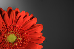 Gerbera (Leon Ritchie) Tags: portrait abstract flower macro nature wall closeup bulb canon southafrica leaf petals flora soft background sigma gerbera bud africandaisy blades anther gerberadaisy transvaaldaisy floret 18200mm 50d barbertondaisy leonritchie