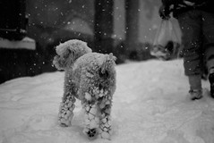 (mlecuni) Tags: winter dog chien pets snow blackwhite hiver neige provence 冬 犬 frenchriviera suddelafrance شتاء كلب exceptionalsnowfall