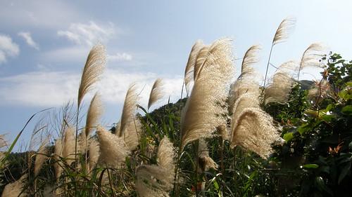067.秋冬就是有看不完的芒草