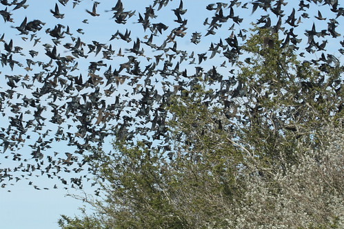 Too many cowbirds
