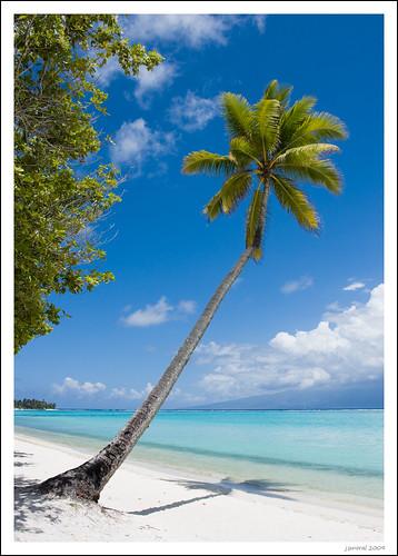 Palmera en una playa de Moorea (by jsmoral)