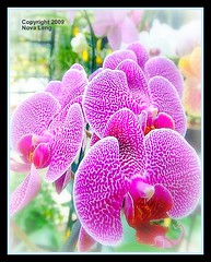 Orchid (novaleng) Tags: plants orchid flower macro spiky purple tropical otw