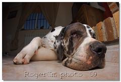 dylan (Roger costa) Tags: dog greatdane fisheye perro doo scooby ojodepez grandanes sigma8mm dogoaleman dogueallemand eos40d rogercm rogercosta rogercostamorera rugercmgmailcom