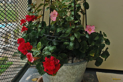 Mandevilla and Pelargonium