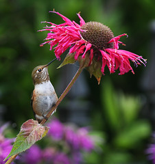 Rufous Hummingbird and Bee Balm (janruss) Tags: bird hummingbird explore breathtaking avian rufoushummingbird naturesfinest supershot topshots specanimal mywinners abigfave platinumphoto colorphotoaward impressedbeauty avianexcellence amazingbokeh betterthangood world100f natureselegantshots breathtakinggoldaward 100commentgroup vosplusbellesphotos colorphotoawardbronze saariysqualitypictures thebestofmimamorsgroups janruss superamazingbokehaward janinerussell breathtakinghalloffame qualitygold
