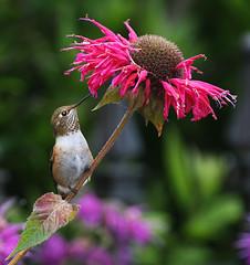 Rufous Hummingbird and Bee Balm (janruss) Tags: bird hummingbird explore breathtaking avian rufoushummingbird naturesfinest supershot topshots specanimal mywinners abigfave platinumphoto colorphotoaward impressedbeauty avianexcellence amazingbokeh betterthangood world100f natureselegantshots breathtakinggoldaward 100commentgroup vosplusbellesphotos colorphotoawardbronze saariysqualitypictures thebestofmimamorsgroups janruss superamazingbokehaward janinerussell breathtakinghalloffame qualitygold