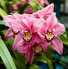 orchid_Cymbidium.jpg