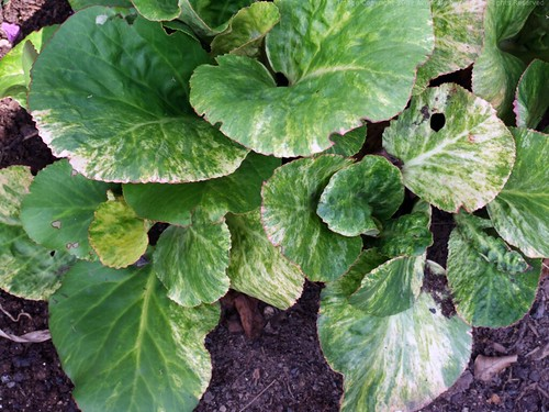 BERGENIA cordifolia 'Tubby Andrews'