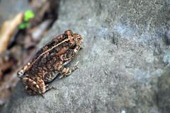 Sapo, toad. (Vvillamon) Tags: macro nature animal flickr sony frog 350 toad estrellas sapo alpha a350 vvillamon