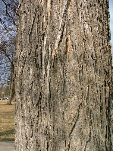 american elm tree bark. American Elm bark