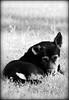 dog B&W (Oswald A) Tags: pfogold pfosilver