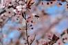 LA ABEJA LLEGANDO AL TRABAJO / The bee is coming to the work (yoymicaballo) Tags: abejas primavera abeja tierradecampos fuentesdenava