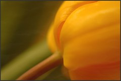 tulip (fireleaf) Tags: flowers green texture yellow soft bokeh blumen tulip tulpe fireleaf riimnet