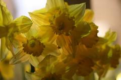 #77/365 - Daffodils