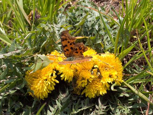 蝶とタンポポ