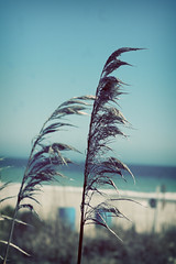 (ginnerobot) Tags: ocean blue beach nature grass vintage 50mm myrtlebeach march wind southcarolina