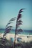 (ginnerobot) Tags: ocean blue beach nature grass vintage 50mm myrtlebeach march wind southcarolina