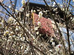 plum-blossom3 (fudge lips) Tags: nature river earlyspring yoshino
