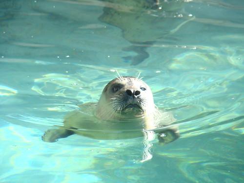 Harbor Seal at the Los Angeles Zoo