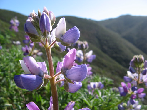 Miniature lupines