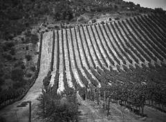 vineyard (axiepics) Tags: travel cruise trees blackandwhite bw southamerica valparaiso vineyard ship grapes cruiseship vegetation cape bushes capehorn traveldestinations norwegiansun copyrightalexskellyallrightsreserved