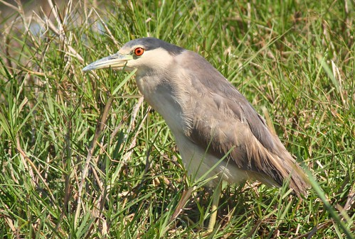 Black-crowned Night-Heron - 3/16/2009