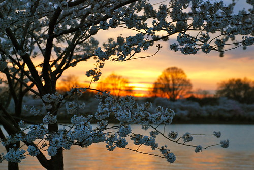 Cherry blossom sunset by afagen.