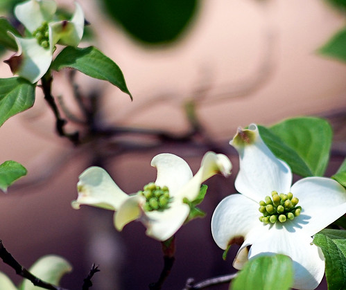 """After all, I don't see why I am always asking for private, individual, selfish miracles when every year there are miracles like white dogwood."""