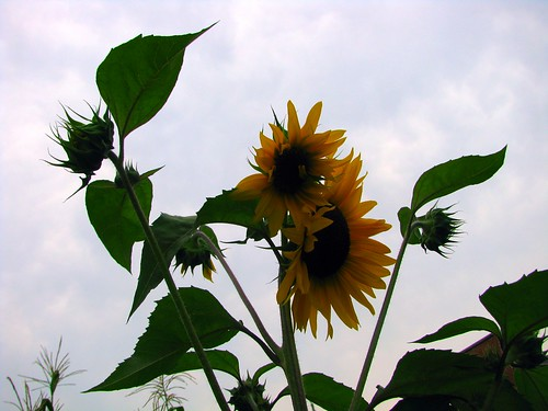 Tennessee Sunflowers