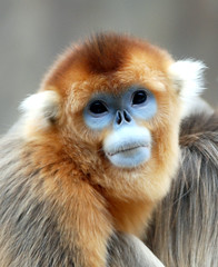 Golden snub nosed monkey (floridapfe) Tags: blue face animal zoo monkey golden nikon korea everland nosed  snub goldensnubnosedmonkey d80 platinumheartaward alemdagqualityonlyclub savebeautifulearth