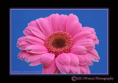Damaged Petals (chetty3) Tags: pink flowers macro nature canon studio petals gerbera naturesfinest sigma105mmf28 fantasticflower anawesomeshot eos40d theunforgetablepictures theunforgettablepictures naturethroughthelens wonderfulworldofflowers 100commentgroup theperfectpinkdiamond 100commentsgroup pinkribbonsforawareness thinkpinkforawareness andawarenessallcolours