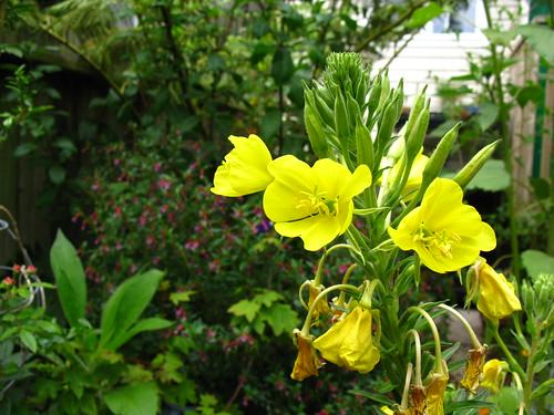 2009-08-01 garden; Oenothera