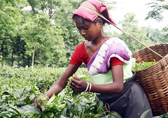Tea Plucker in Assam (Diganta Talukdar) Tags: india assam plucker tealeaf