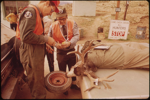 Deer Hunters Kill Is Counted and Examined at Check Station North of Rifle by Employees of the Colorado Department of Fish and Game. the Information Is Used to Determine the Time and Duration of Next Years Season and What Type of Deer May Be Hunted, 10/1972  by David Hiser
