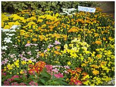 Chrysanthemum - เบญจมาศ