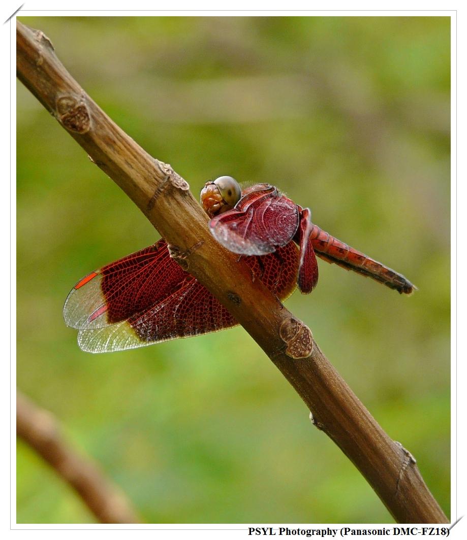 Red Percher (Neurothemis ramburii) - 善變蜻蜓