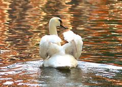 mother swan defending her babies (ullispain) Tags: thepowerofnow