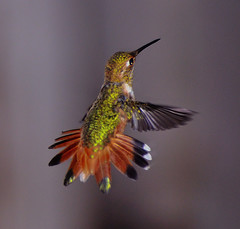 Feisty Rufous Hummingbird (champbass2) Tags: california bird nature northerncalifornia garden fan backyard nikon hummingbird wildlife tail birding 70300mm rufous rufoushummingbird d90 champbass2 vosplusbellesphotos