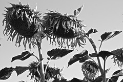old-sunflower (brumó) Tags: italy italia tuscany chianti siena fiori toscana fiore 2009 vigne girasole paglia cretesenesi luglio sangiovese agricoltura campodigirasoli vinotoscano