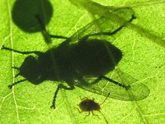 Some like the shade, some like the sun ... (russell.bride) Tags: shadow green bug fly leaf blatt schatten fliege kfer
