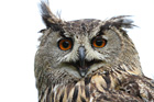 Canon 7D Owl / Bird / Wildlife Sample Image