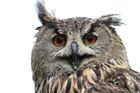 Canon 7D Owl / Bird / Wildlife Sample Image