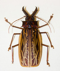 CD468 Macrodontia cervicornis (listentoreason) Tags: usa brown color nature animal closeup america canon insect newjersey unitedstates beetle favorites places animalia arthropoda invertebrate arthropod coleoptera longhornbeetle cerambycidae tomsriver insecta longicorn pterygota longhornedbeetle neoptera endopterygota macrodontia score35 ef28135mmf3556isusm polyphaga bugmuseum insectidentification chrysomeloidea prioninae insectropolis macrodontiacervicornis animalidentification bugseum