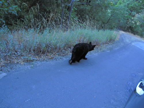 A bear walking up the road