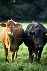 (morgan.laforge) Tags: sunset summer nature field grass cows farm barbedwire kansas
