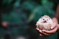 (Christopher Li) Tags: white cute green film animal hands bokeh nails fingernails hedgehog spines fujifilmsuperiaxtra400 asahipentaxmesuper justpentax smcpentaxfa77mmf18limited highqualityanimals