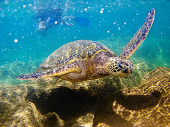 Swimming With Hawaiian Green Sea Turtles ([ CK ]) Tags: canon hawaii reptile snorkeling northshore kauai honu cheloniamydas greenseaturtle tunnelsbeach g9 haenabeachpark